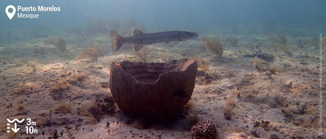 Baracuda à Puerto Morelos, Mexique