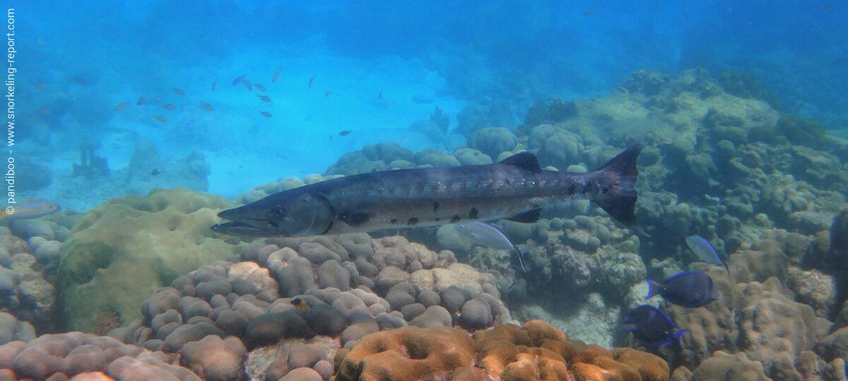 Barracuda aux Îlets Pigeon