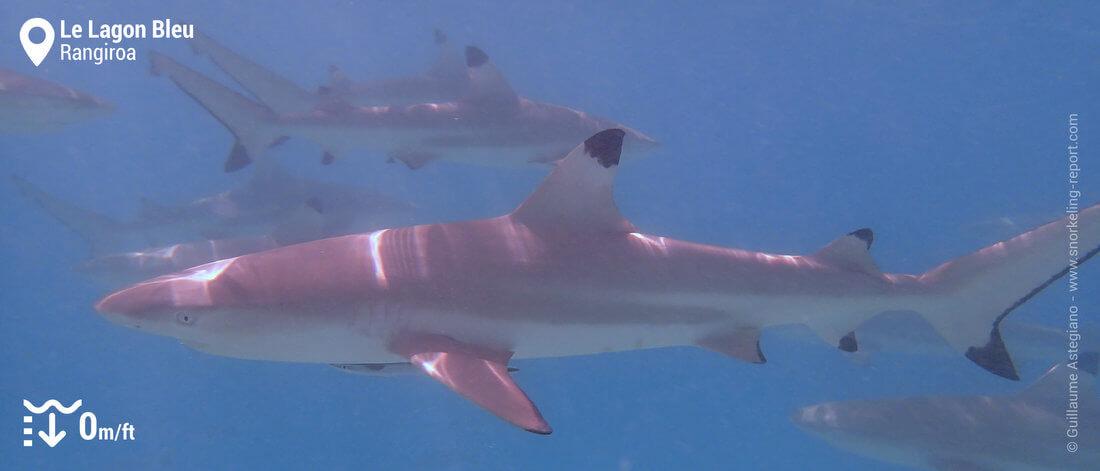 Snorkeling avec les requins à pointe noire du Lagon Bleu, Rangiroa