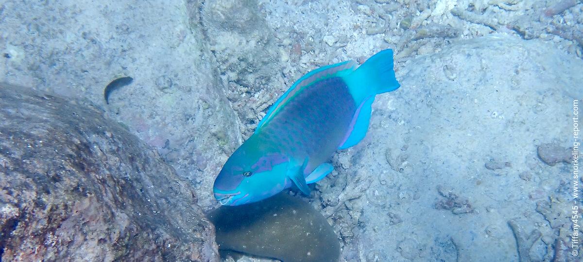 Parrotfish Anse Lazio