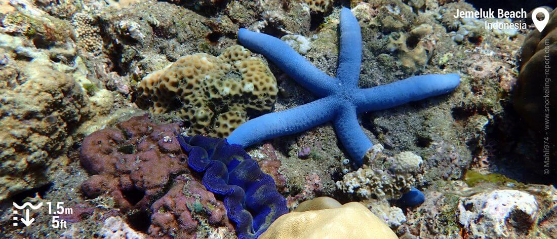 Blue sea star and giant clam at Jemeluk Beach, Bali