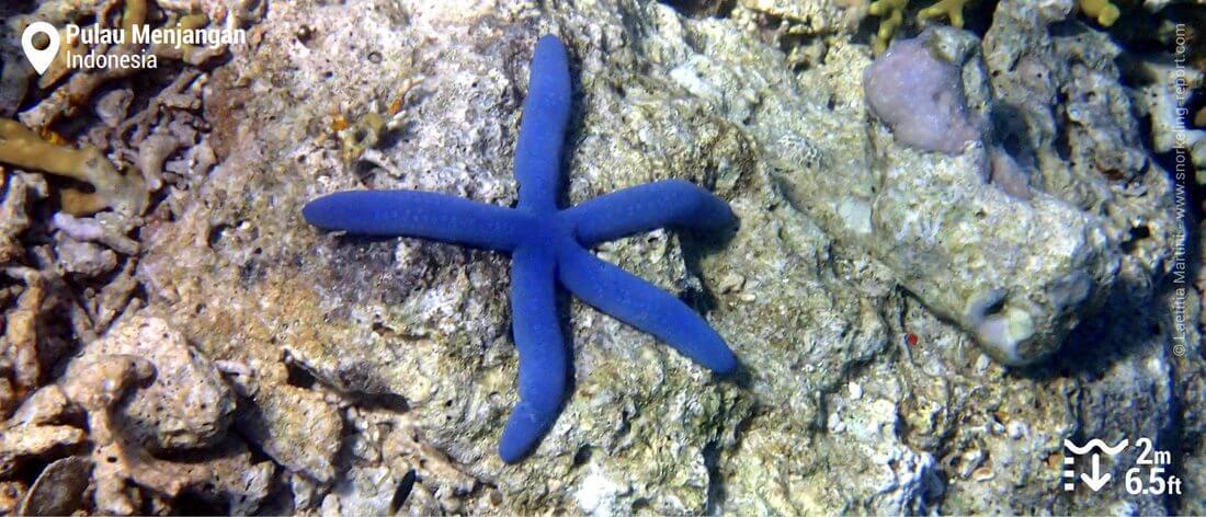 Blue sea star at Menjangan Island, Bali