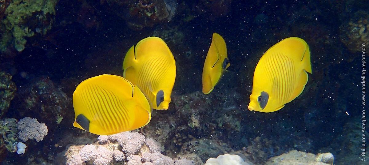 Bluecheek butterflyfish at Gordons Reef
