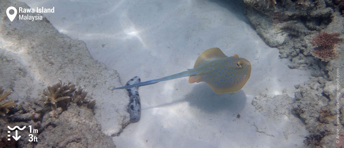 Bluespotted stingray at Rawa Island
