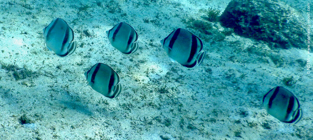 Butterflyfish in Cortez Sea
