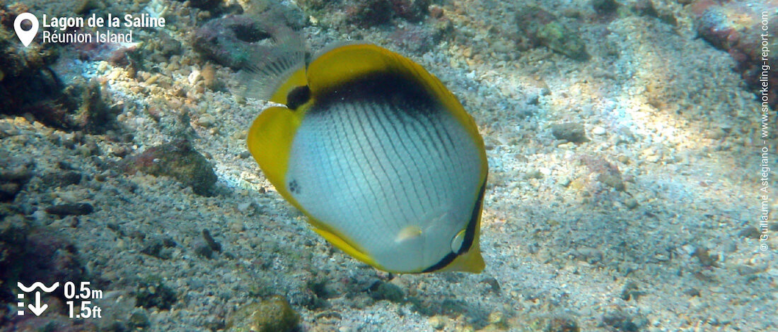 Blackback butterflyfish at Lagon de la Saline, Réunion Island