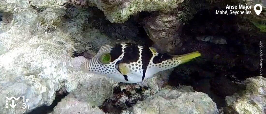 Canthigaster à selles à l'Anse Major, Mahé