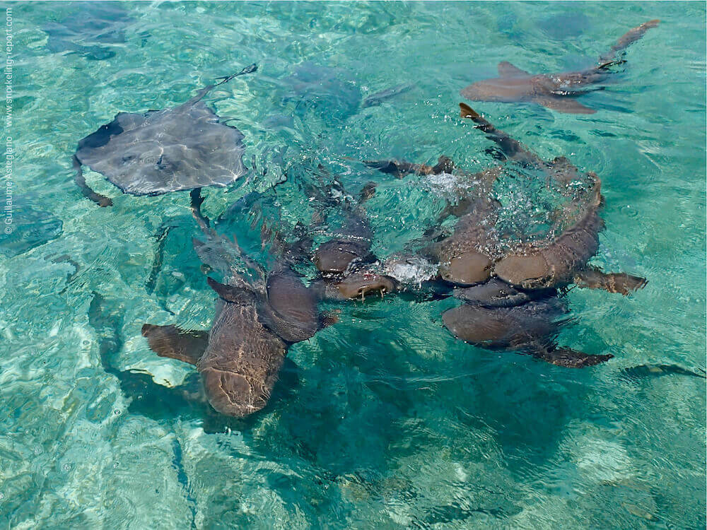 Snorkeling at Caye Caulker Shark Ray Alley | Belize