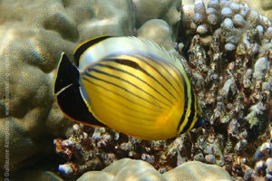 Blacktail butterflyfish