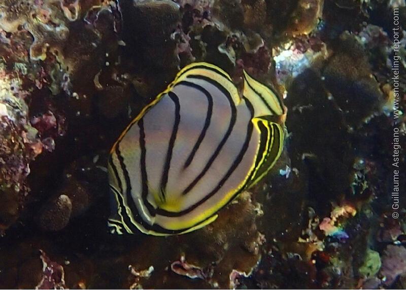 Poisson-papillon de Meyer