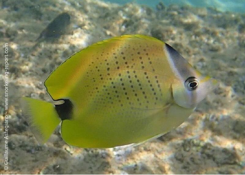 Millet butterflyfish