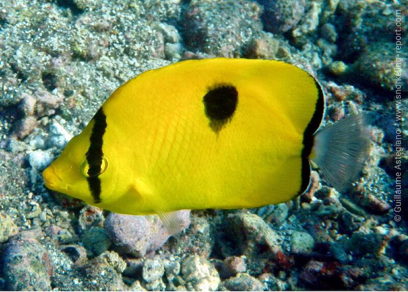 Indian Ocean teardrop butterflyfish