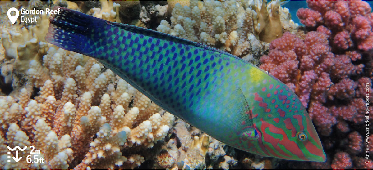 Checkerboard wrasse terminal phase