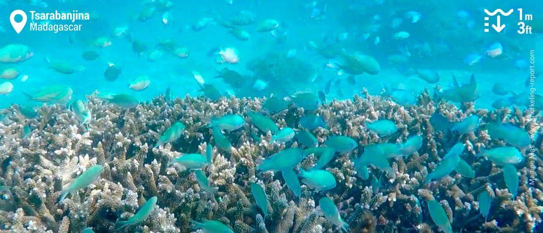 Chromis bleu-vert à Tsarabanjina, snorkeling à Madagascar