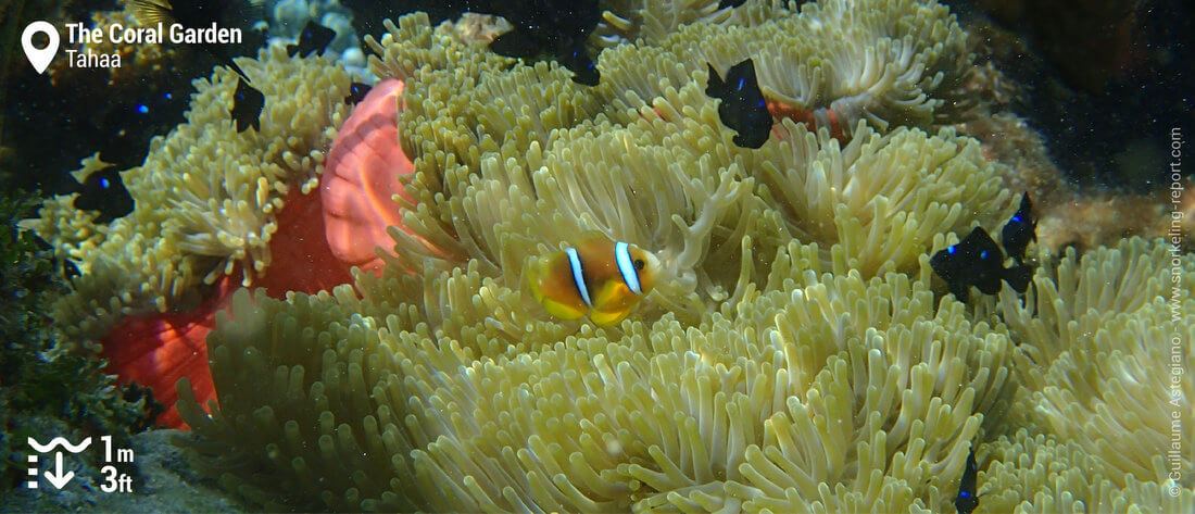 Snorkeling with clownfish in Tahaa's Coral Garden
