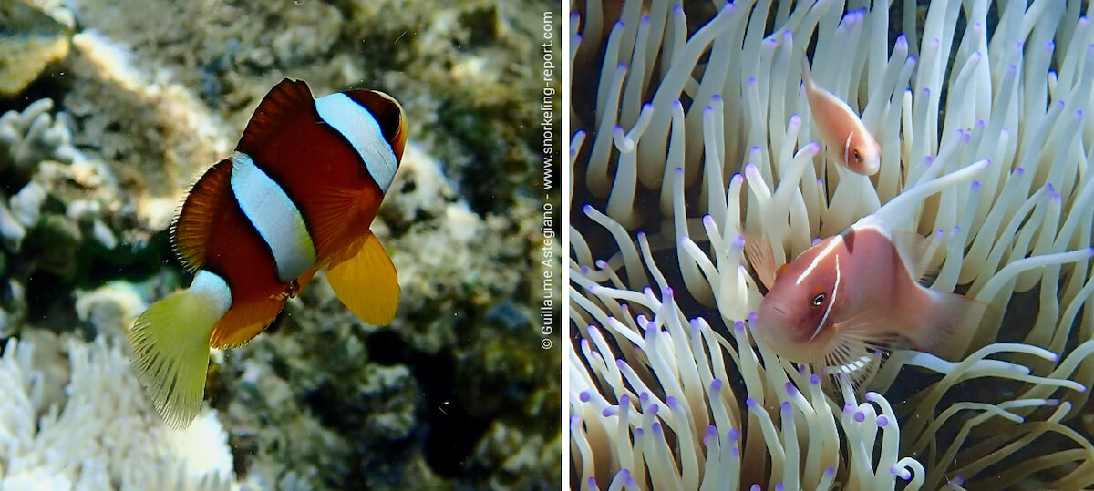 Clownfish species Indonesia