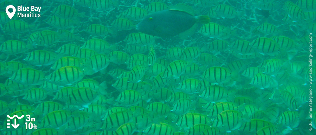 Shoal of convict tang at Blue Bay, Mauritius