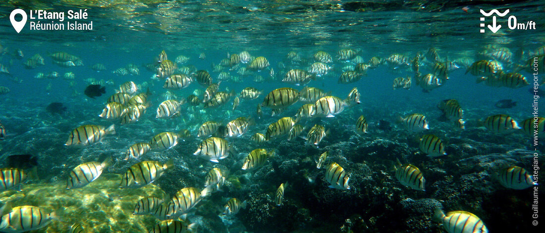 Shoal of convict tang at Etang Salé, Réunion Island