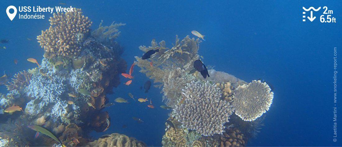 Coraux sur l'épave de l'USS Liberty, Bali