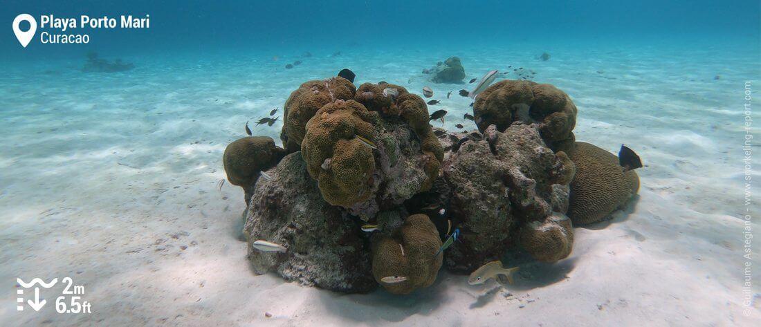 Coral cluster at Playa Porto Mari, Curacao