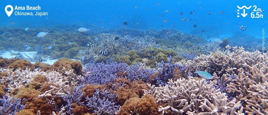 Ama Beach coral garden, Zamami Island