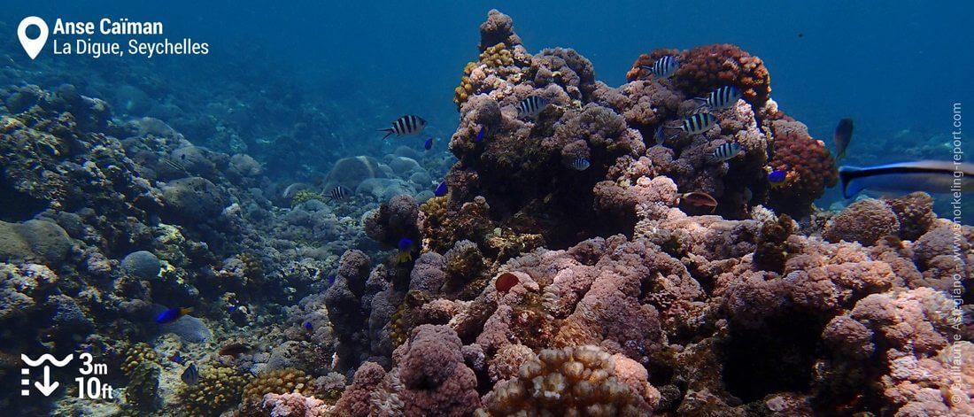 Coral reef at Anse Caiman, La Digue Island