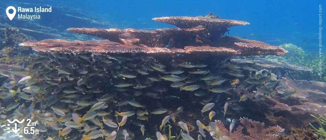 Coral reef snorkeling at Rawa Island, Malaysia