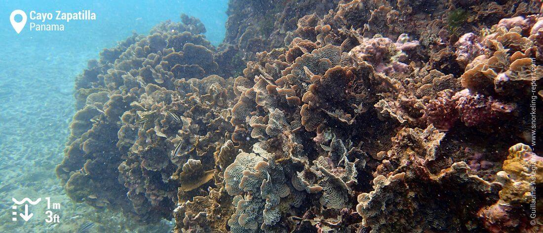 Coral reefs at Cayo Zapatilla, Panama