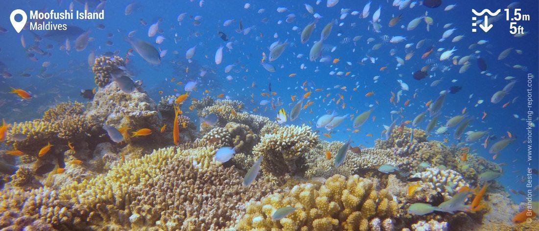 Coral reef snorkeling at Moofushi Island, Maldives