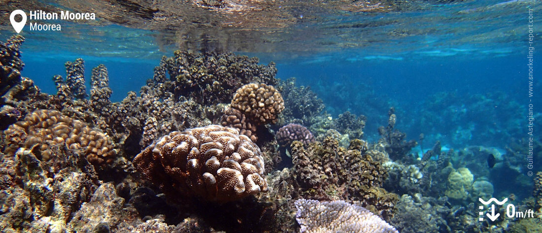 Récif corallien dans le lagon de l'hôtel Hilton Moorea