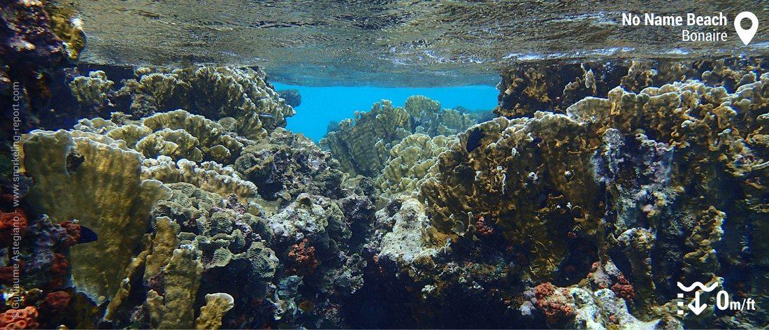Coraux à No Name Beach, Klein Bonaire