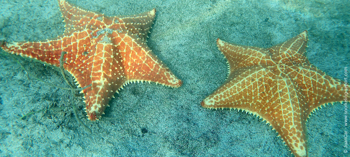 Caribbean cushion sea stars