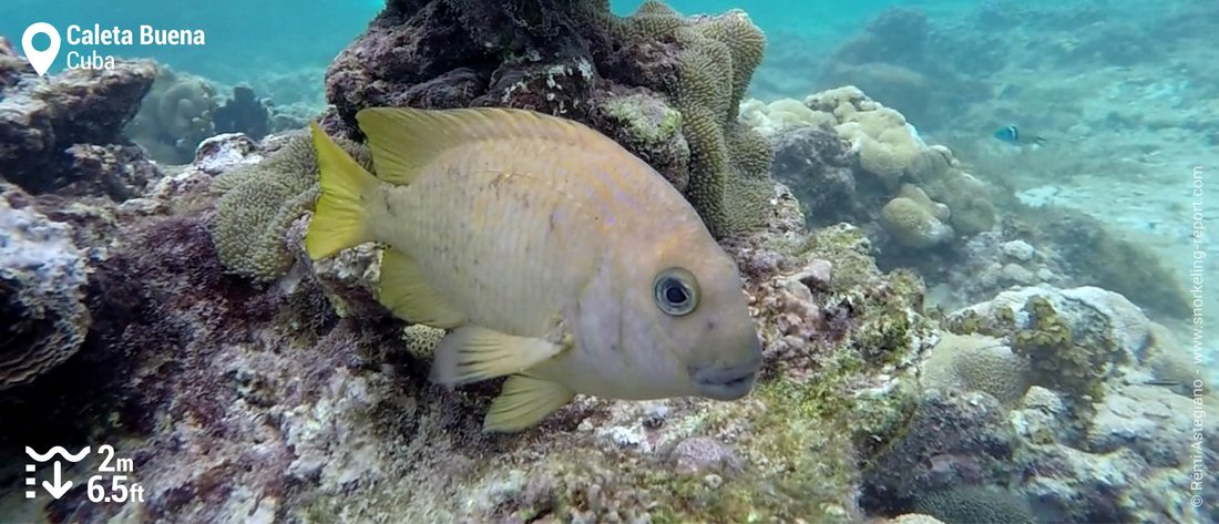 Damselfish in Caleta Buena