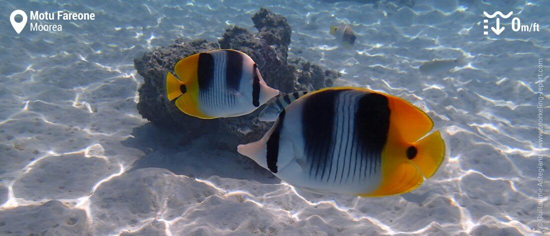 Double-saddle butterflyfish at Motu Fareone, Moorea