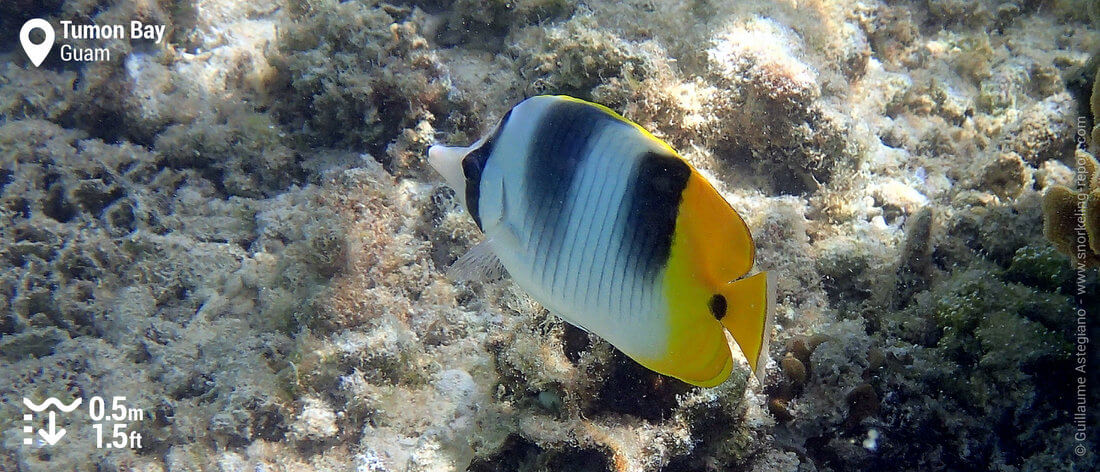 Double-saddle butterflyfish at Tumon Bay, Guam snorkeling