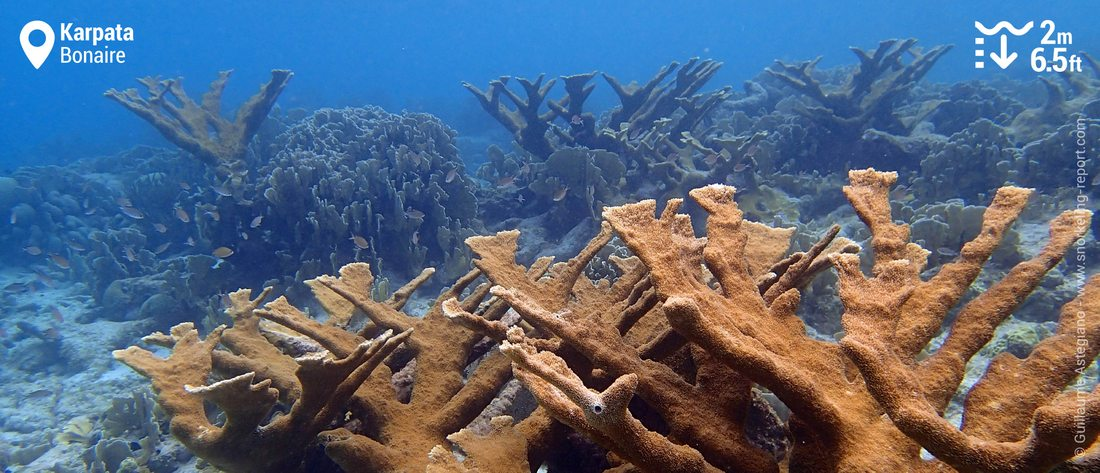 Elkhorn coral in Karpata