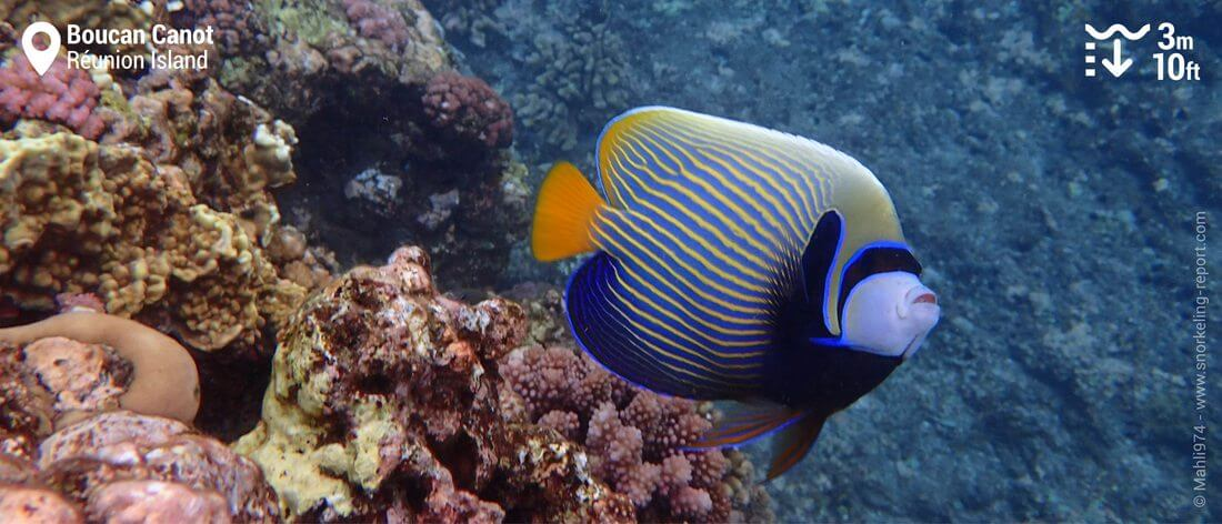 Emperor angelfish at Boucan Canot beach, Réunion Island