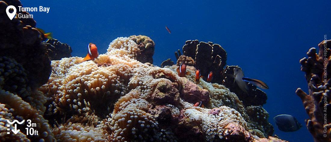 Fire clownfish on Tumon Bay reef drop-off, Guam snorkeling