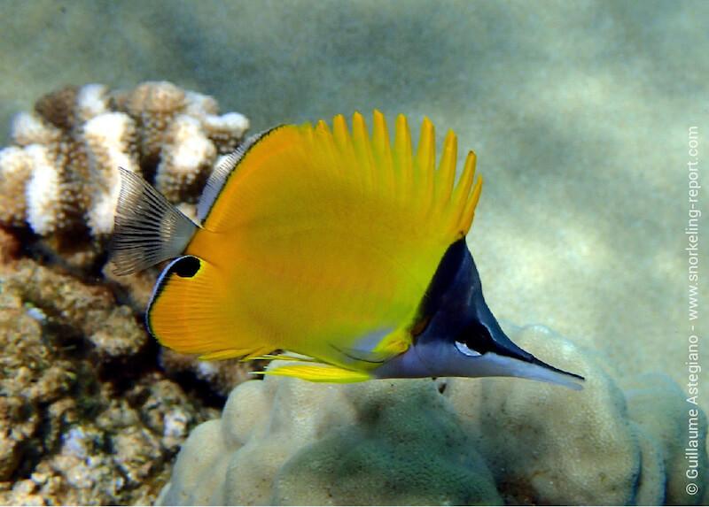Poisson-pincette jaune