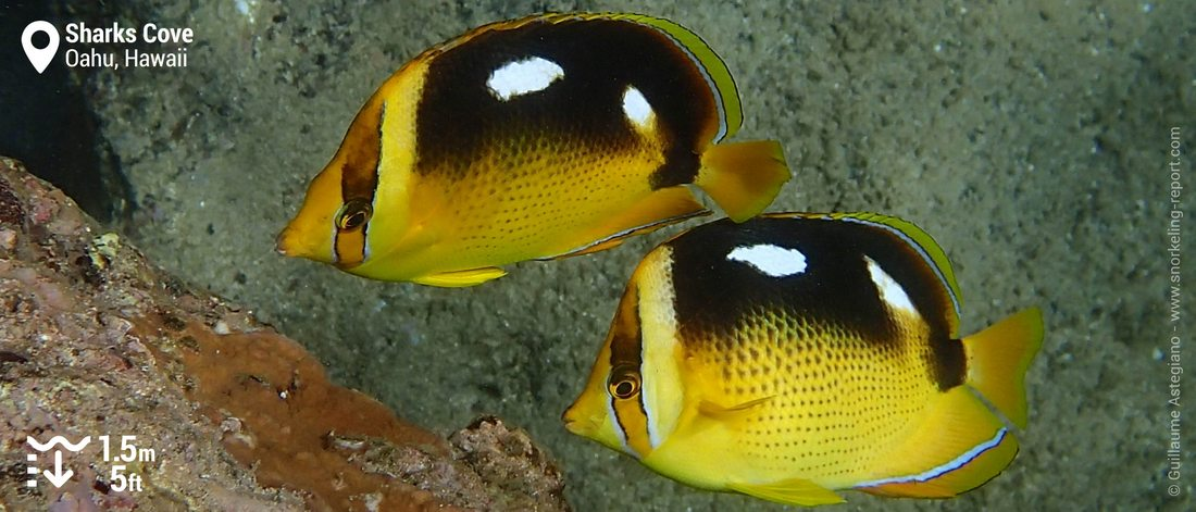 Fourspot butterflyfish at Sharks Cove
