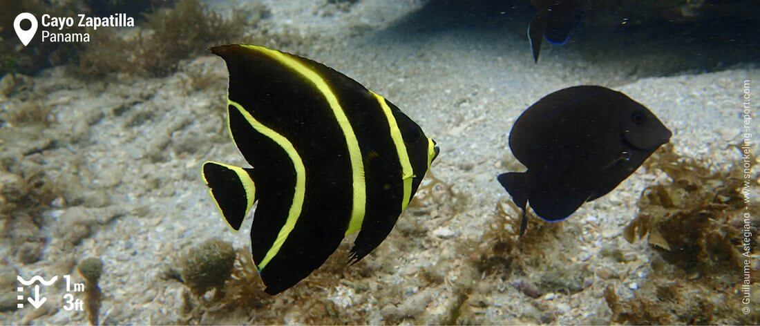 Gray angelfish at Cayo Zapatilla, Panama