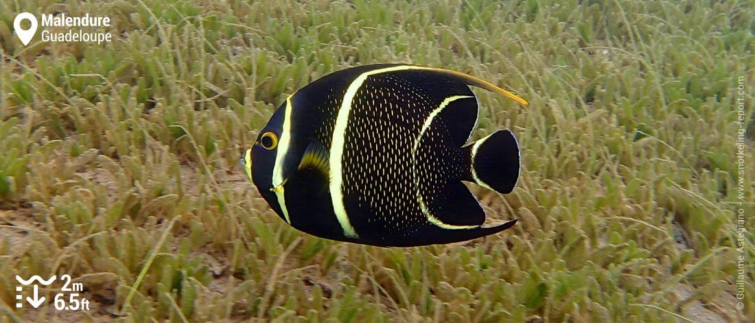 French angelfish at Malendure beach, Guadeloupe