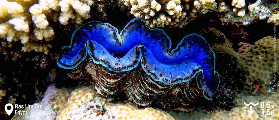 Giant clam at Ras Um Sid, Sharm el-Sheikh