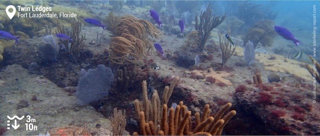 Gorgones et plumes de mer à Twin Ledges, Fort Lauderdale