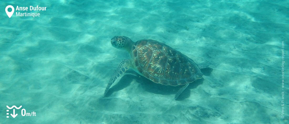 Green sea turtle at Anse Dufour, Martinique