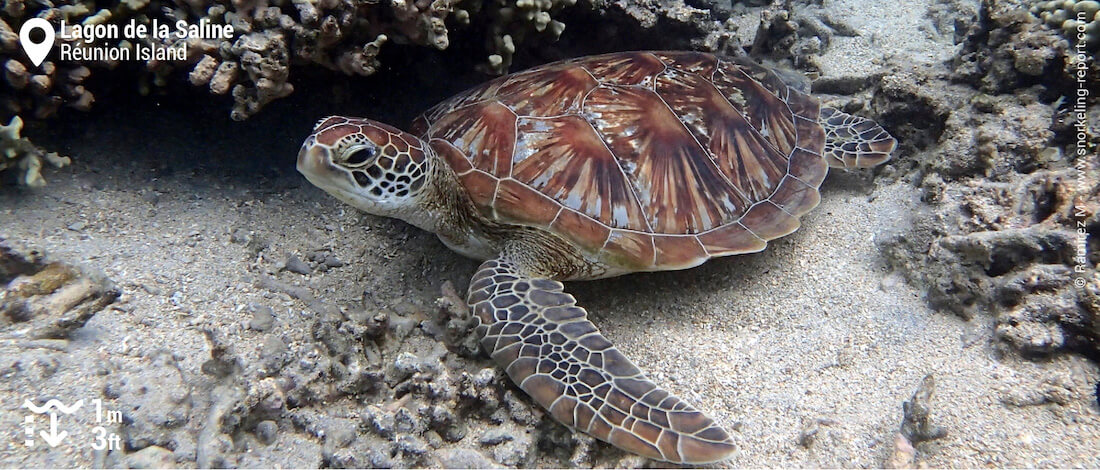Green sea turtle at Lagon de la Saline, Réunion Island