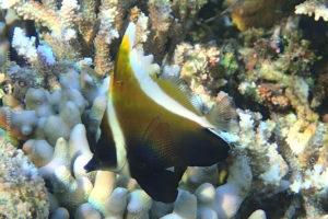Phantom bannerfish