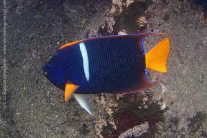 Passer angelfish