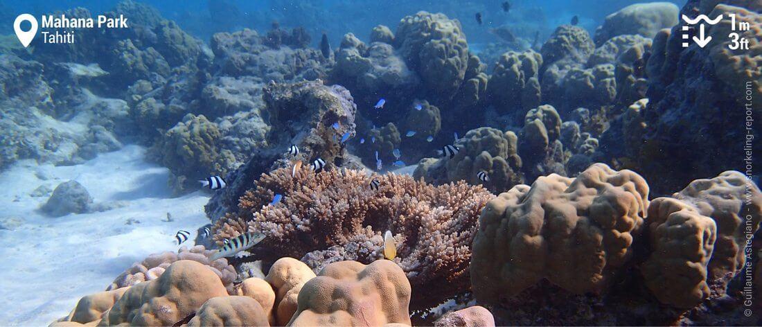 Coral reef snorkeling in Mahana Park, Tahiti