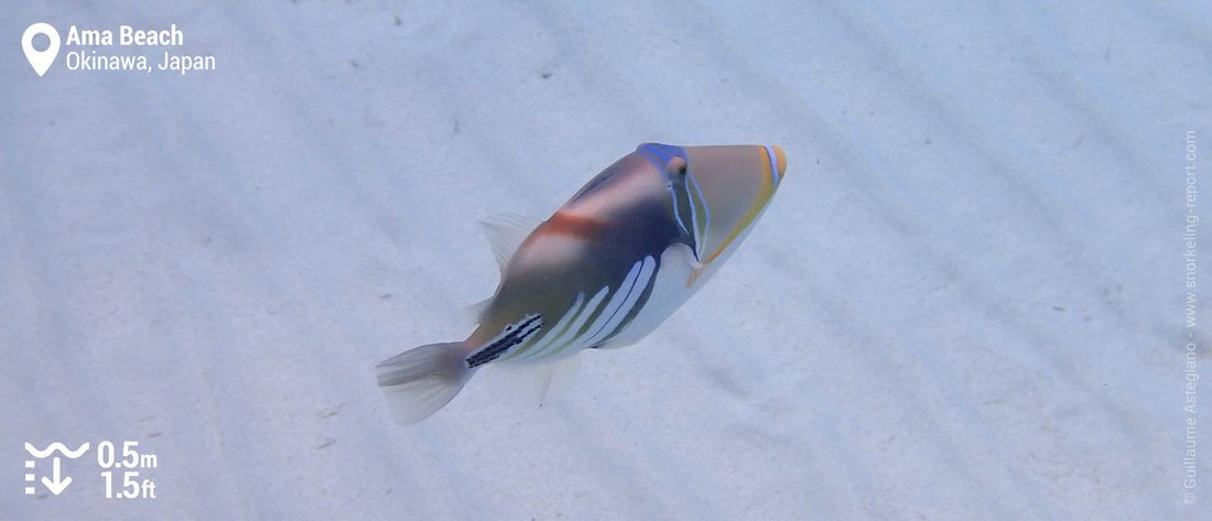 Lagoon triggerfish at Ama Beach, Zamami Island
